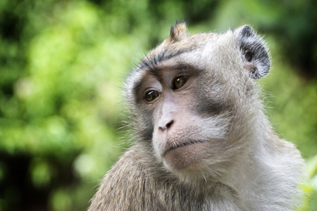 Monkey - Long-tailed macaque (Macaca fascicularis) close up