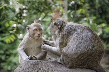 Deux singes à la recherche de poux
