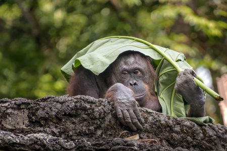 Orangutans use umbrellas from leaves 免版税图像