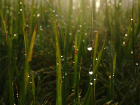 waterdrop: waterdrop on leaf rice plant Stock Photo