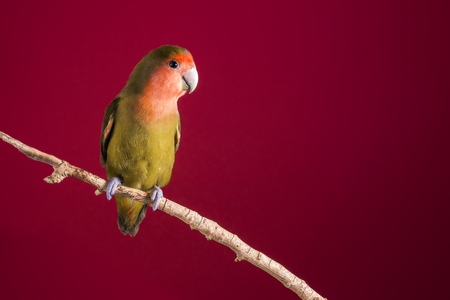 Lovebird lovebirds on a branch over a red background Stock Photo