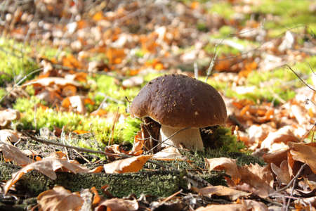 Cep mushroom in the autumn forest in sunny weather Stock Photo