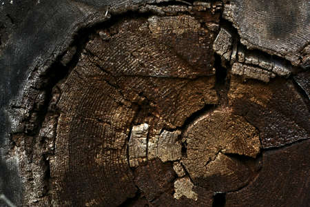 Cross-section cut of an old tree