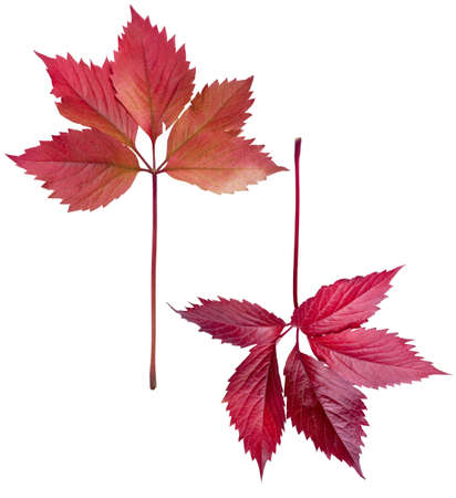 autumn red leaves of wild  grapes  on white background