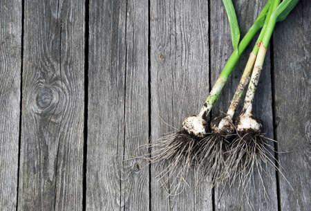 organic garlic on old wooden background. close-up