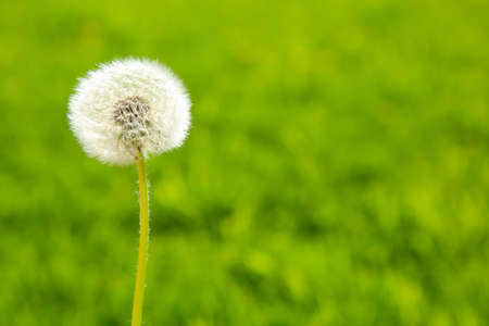 conjugation: Fluffy dandelion on a green background in backlit