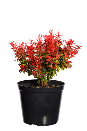 Seedling barberry in a black plastic pot isolated on white background Stock Photo