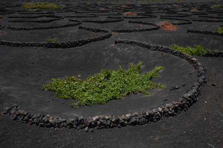 Grape vine planted by unique technology in volcanic lava