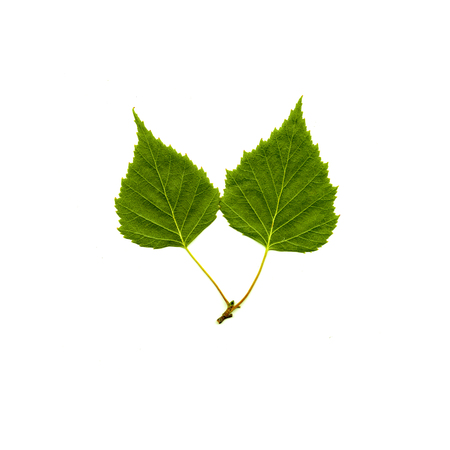 Green birch leaves white background