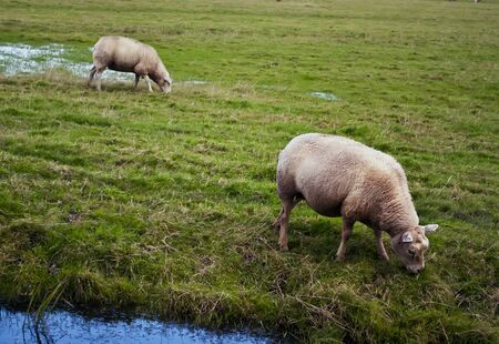 sheep grazing beside the shore in the field photo