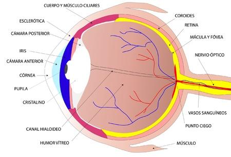 cornea: Disegnare l'occhio umano