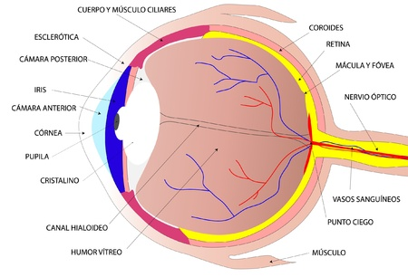 cornea: Drawing the human eye
