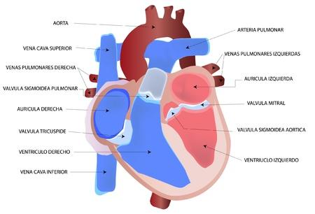 medicina interna: Dibujo del coraz�n humano