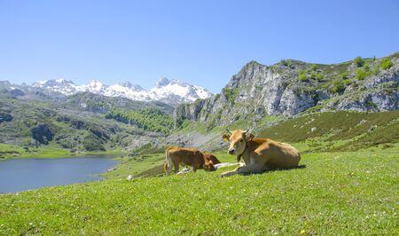 picos: Cows in the mountains in Picos de Europa, Spain Stock Photo