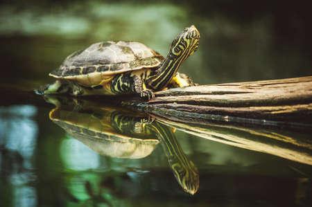 schildkr�te: junge Schildkr�te sitzen auf Zweig Reflexion im Wasser