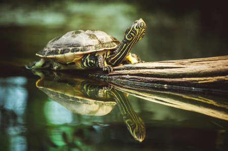 turtle: young turtle sitting on branch reflection in water Stock Photo