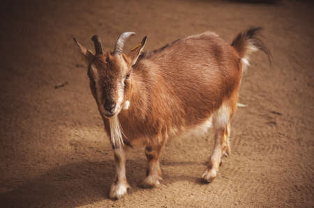 little: young brown goat in meadow. Goat herd Stock Photo