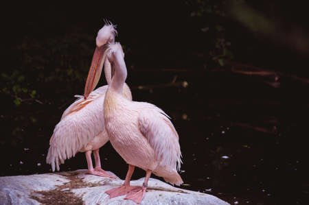 smooching: Two kissing white pink pelicans against a dark background