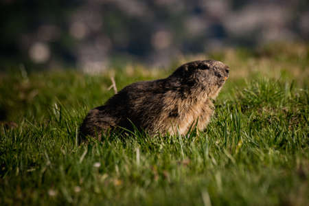 southern europe: Alpine marmot Marmota marmota looking backward, This animal is found in mountainous areas of central and southern Europe
