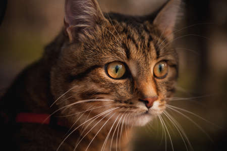 rudy: home cat with red collar portrait on blurred background