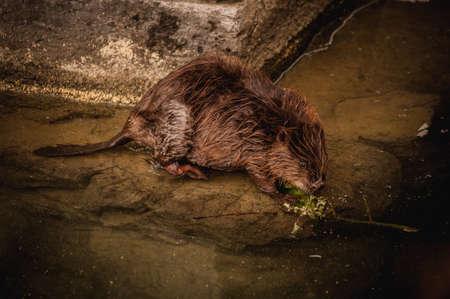 murky: Cute swimming beaver in the murky lake water