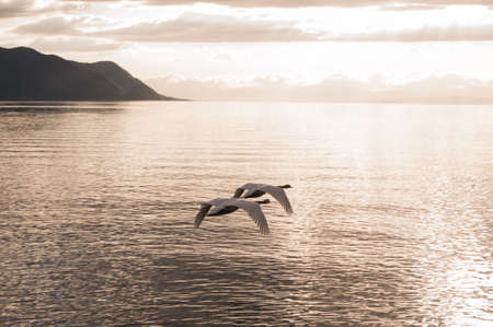 synchronously: Two mute swans synchronously flying towards the sunset over lake Stock Photo