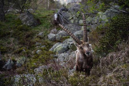 capra: Steinbock. wild life Alpine Ibex Capra ibex