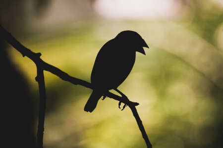 bipedal: silhouette of java sparrow seating on  branch