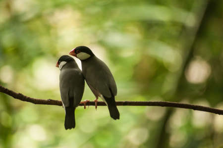 bipedal: Sweet couple Java Sparrows on a branch Stock Photo