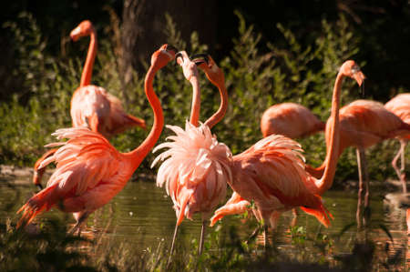 aviary: few large flamingo birds fight with their beaks
