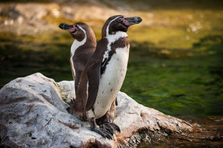 yellow eyed penguin: Two Yellow Eyed Penguins standing on the rock