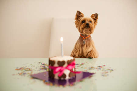Yorkshire terirer  looking at birthday cake in front on table
