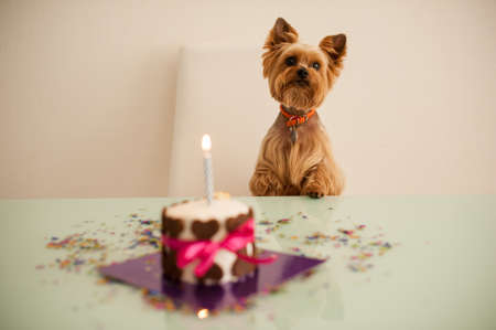 Yorkshire terirer auf Geburtstagskuchen vor die auf dem Tisch Standard-Bild - 48006752