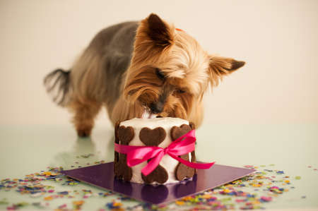 york dog in eats a small birthday cake