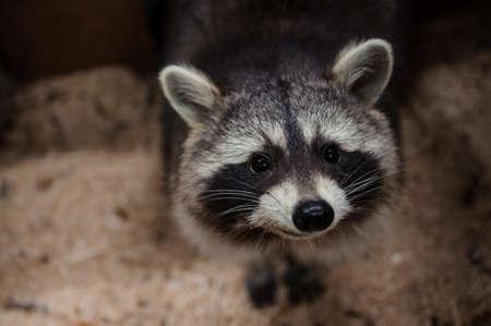 begging: Begging look of a raccoon portrait close