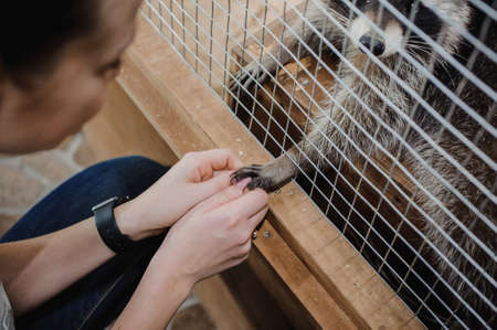 rabies: Raccoon reaching human woman hands through the wires of his cage Stock Photo