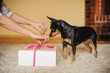 toy terrier: cute dog toy terrier watching present box being opened