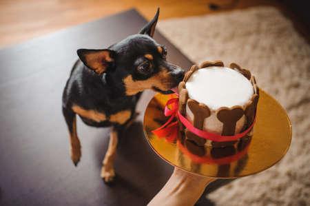 장난감 terirer 생일 케이크를 먹는 여자에 의해 개최 뼈 모양의 쿠키로 장식 스톡 콘텐츠