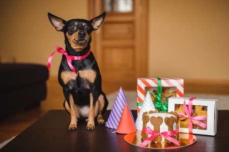 toy terrier: toy terrier and dog cake , cookies in boxes with birthday hats