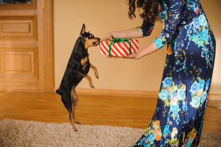 toy terrier: toy terrier jumping to reach present box with ribbon in woman hands Stock Photo