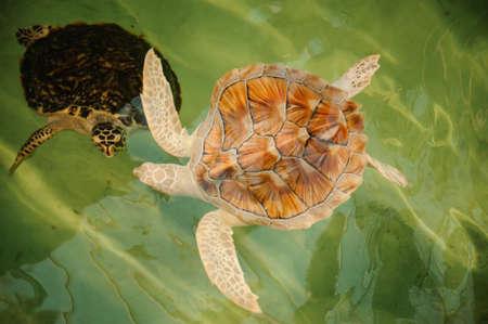 nekton: two Green Sea Turtles white and black under water