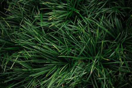 mondo: Reliable Grass Type Ground Covers - Ophiopogon texture pattern