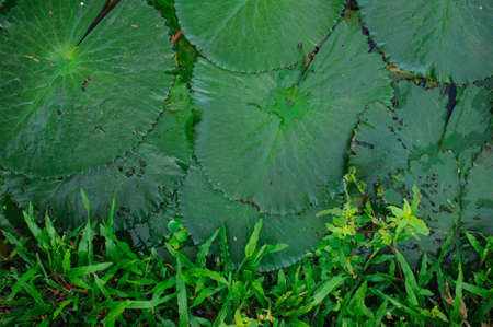 boarder: water lily leaf on boarder with a grass