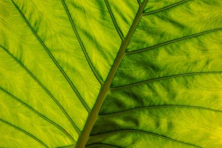 horisontal: big green leaf texture horisontal beautiful background