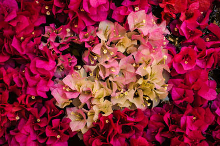hybrida: Close up pink and white color bougainvillea spectabilis texture Stock Photo