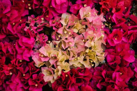 color bougainvillea: Close up pink and white color bougainvillea spectabilis texture Stock Photo