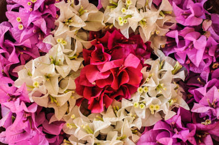bougainvilleas: painting made of Colorful Bougainvilleas flowers white, pink, red