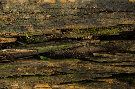 bark peeling from tree: Wood texture, with weathered look, old and green background