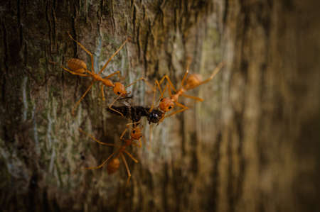 comrades: three weaver ants eating insect on tree Stock Photo