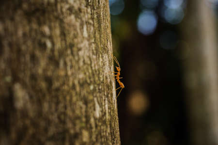 antrey: Weaver Ant side view on tree selective focus